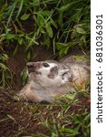 Small photo of North American Badger (Taxidea taxus) Looks Up - captive animal