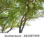 tamarind green leaf and... | Shutterstock . vector #681087409