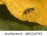 Small photo of Striped cucumber beetle (Acalymma vittatum)