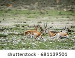 Group Of Springboks Laying In...