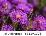colorful violet flowers aster...   Shutterstock . vector #681291325