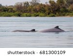 rare irawaddy dolphins boat... | Shutterstock . vector #681300109