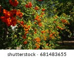 Fire Thorn Pyracantha...