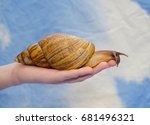 Giant African Snail On A Human...