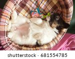 Stock photo dog puppy papillon months baby 681554785