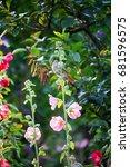 Small photo of Alcea rosea
