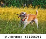 Stock photo stubborn beagle puppy misbehaving and pulling its leash with its teeth 681606061