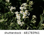 "Small photo of White ""Sneezewort"" flowers (or European Pellitory, Goose Tongue, White Tansy, Sumpf-schafgarbe) in St. Gallen, Switzerland. Its Latin name is Achillea Ptarmica, native to Europe."