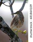 Small photo of Thalagoya - Land Monitor (Varanus bengalensis)