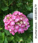 Small photo of Another Burst of Red - Hydrangea Flower