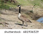 An Adult Canada Goose Standing...