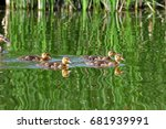 mallard   bird of the duck... | Shutterstock . vector #681939991