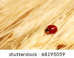 Asian ladybug on golden wheat.  Macro with shallow dof and copy space. - stock photo