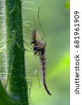 Small photo of side of wild fly chironomidae chironomus riparius culicidae culex mosquito on a green branch
