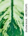 Small photo of Green Leaf Close up - Aglaonema