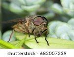 Small photo of Horsefly, Tabanidae
