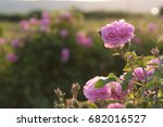 Stock photo beautiful young woman with curly hair posing near roses in a garden the concept of perfume 682016527