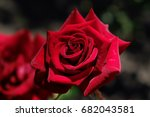 Stock photo red rose 682043581