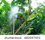 one of the adult red cotton... | Shutterstock . vector #682047451