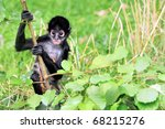 Geoffroy's Spider Monkey  Also...