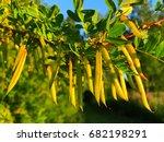caragana arborescens called... | Shutterstock . vector #682198291