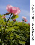 Small photo of Adelman Peony Farm, Brooks, OR