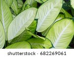 colorful of algonema with green ... | Shutterstock . vector #682269061