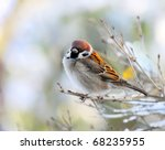 The Male Of A House Sparrow ...