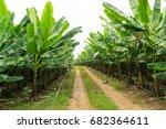 banana garden.   Shutterstock . vector #682364611