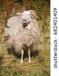 calling sheep in a grass field | Shutterstock . vector #682401409