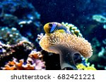 clownfish in a sea anemone with ...   Shutterstock . vector #682421221
