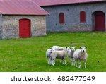 curious cute sheep flock...