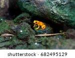 poisonous frog  poison dartfrog ... | Shutterstock . vector #682495129