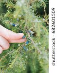 Small photo of Harvesting of Juniperus communis berries, cultivated as an officinal and aromatic plant