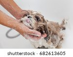 bubble bath a lovely dog shih...   Shutterstock . vector #682613605