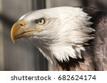American Bald Eagle Portrait...