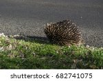 echidna   spiny anteaters | Shutterstock . vector #682741075