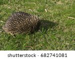 echidna   spiny anteaters | Shutterstock . vector #682741081