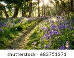 Bluebell Woodland Path With...