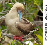 red footed boobies on isla san... | Shutterstock . vector #682793671