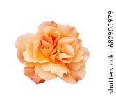 single orange rose flower... | Shutterstock . vector #682905979
