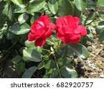 red roses | Shutterstock . vector #682920757