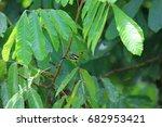 Small photo of Green iora (Aegithina viridissima) male in Danum Valley, Sabah, Borneo, Malaysia