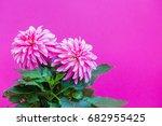 beautiful pink dahlia on a pink ... | Shutterstock . vector #682955425