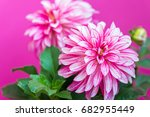 beautiful pink dahlia on a pink ... | Shutterstock . vector #682955449