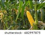 corn field in sunset | Shutterstock . vector #682997875