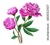 Stock vector set of pink peonies branch of pink peonies isolated for design 683032507