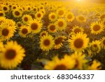 sunflower field landscape.... | Shutterstock . vector #683046337