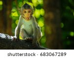 Long Tail Macaque Monkeys In...
