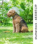 Small photo of Airedale Terrier is a strong and muscular dog of medium size, with brown wool on the nature.